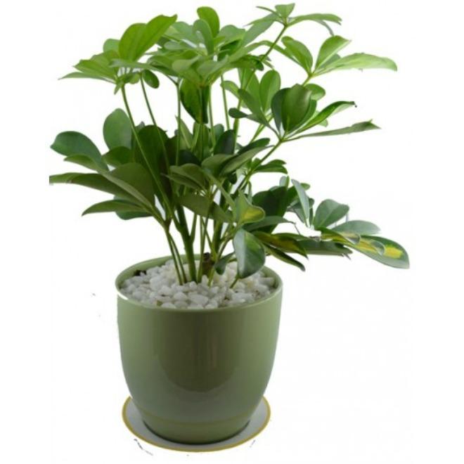 cây ngũ gia bì trồng trong nhà