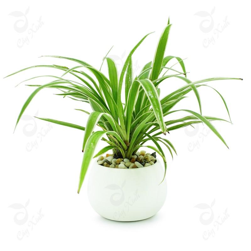cây trồng trong nhà tốt nhất - cây dây nhện
