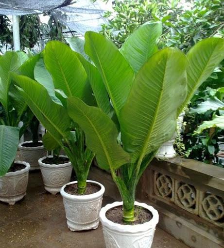 cây đại phú gia trồng trong nhà tốt nhất