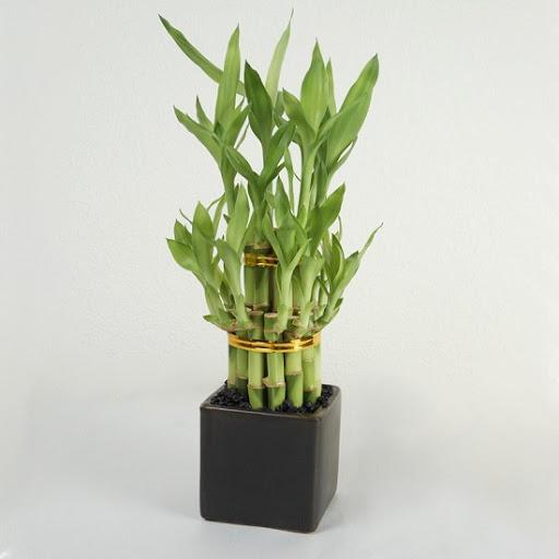 cây phất dụ loại cây trồng trong nhà tốt nhất