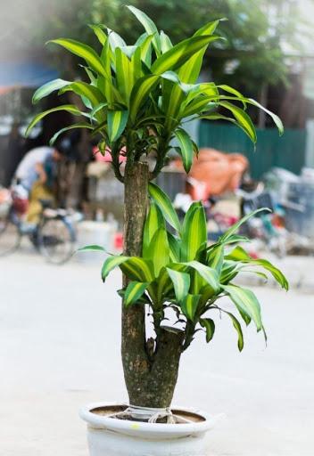 cây thiết mộc lan