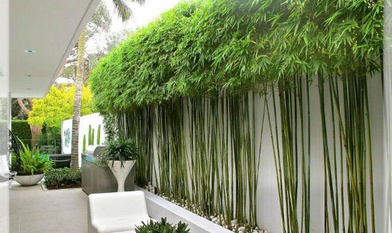 cây tre trúc cảnh trồng trước nhà