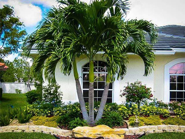cây cau cảnh trước nhà