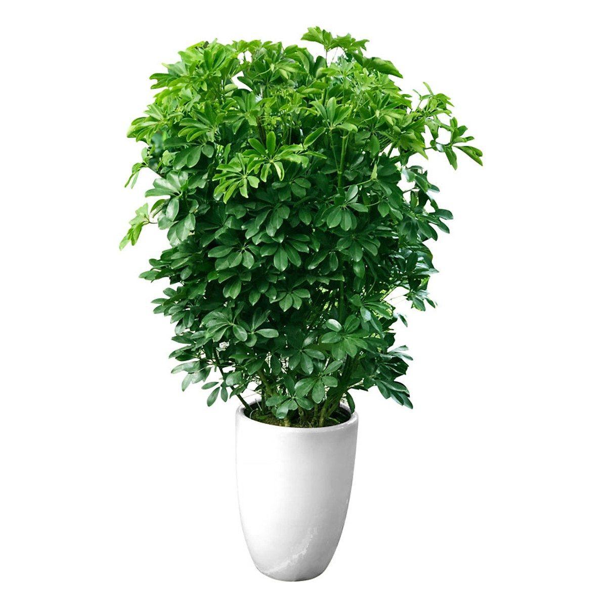 cây ngũ gia bì trồng trước nhà