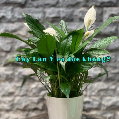 cây lan ý có độc không