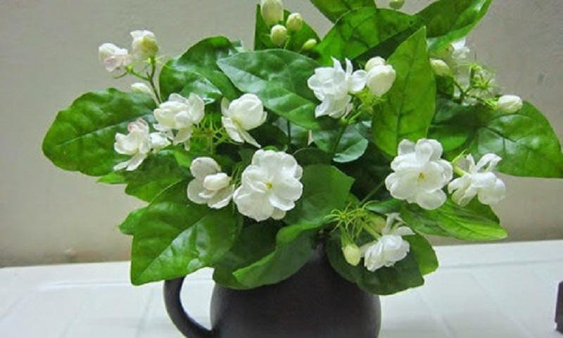 nên trồng cây hoa nhài trong phòng ngủ