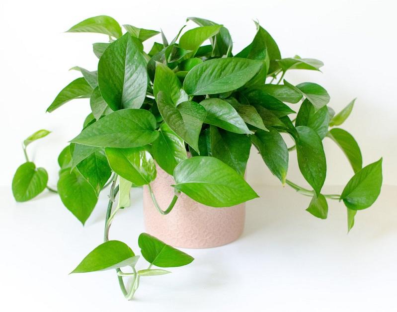nên trồng cây gì trong phòng ngủ cây trầu bà