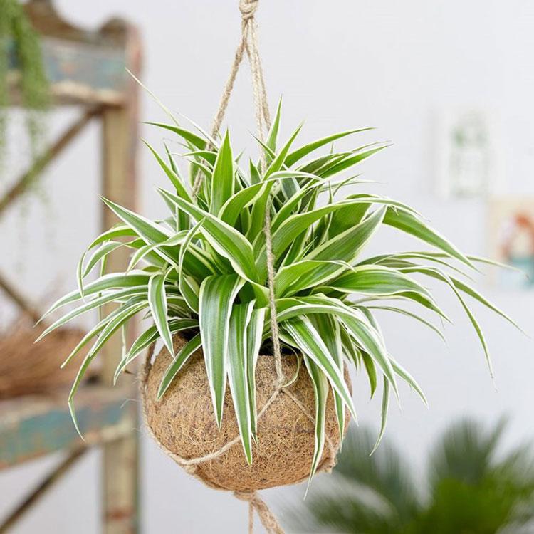 nên trồng cây gì trong phòng ngủ cây dây nhện