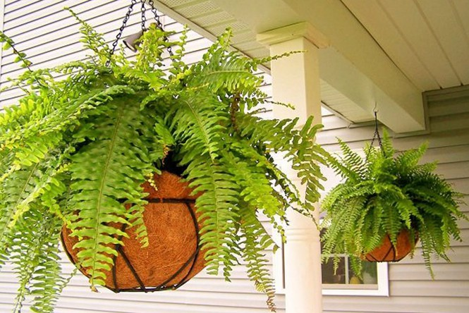 nên trồng cây dương xỉ trong phòng ngủ