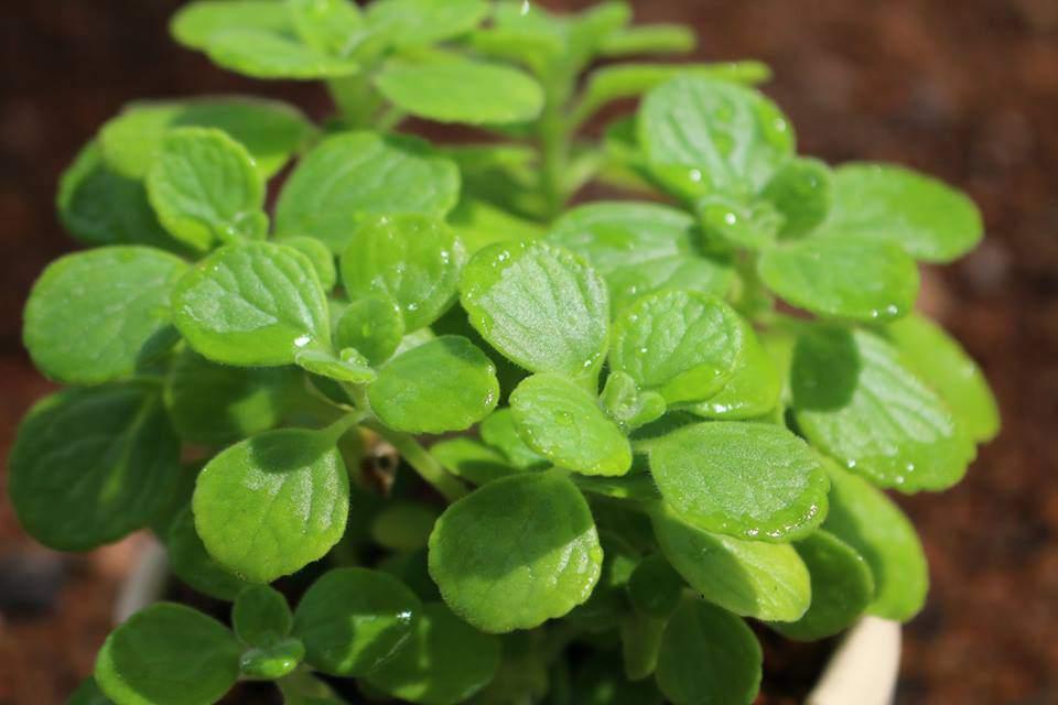 trồng cây nhất mạt hương trong phòng ngủ