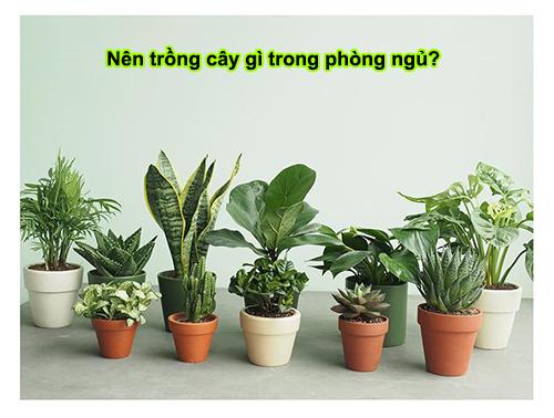 nên trồng cây gì trong phòng ngủ
