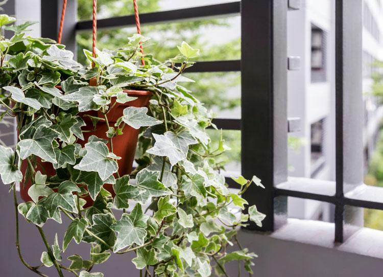 nên trồng cây thường xuân trong phòng ngủ
