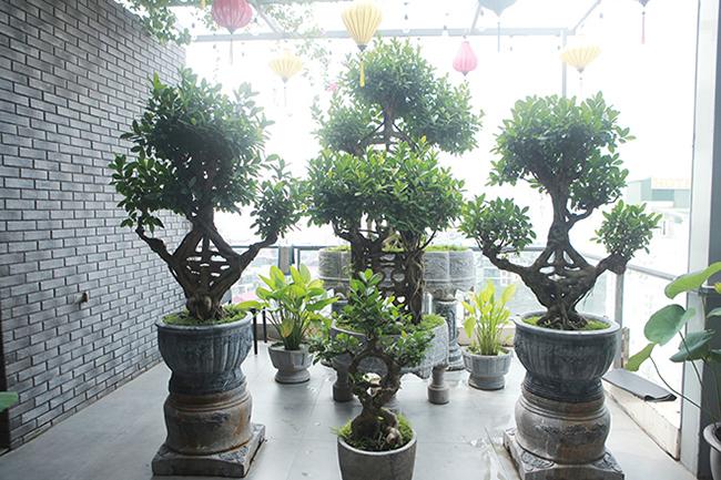 ý nghãi trồng cây si trong nhà có tốt không
